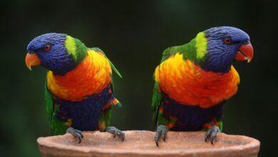 Rainbow Lorikeets - Profil complet, histoire et soins