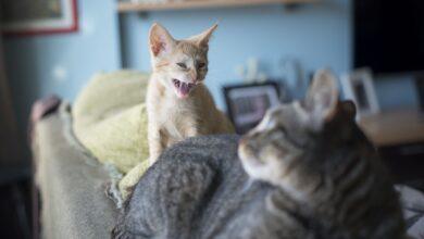 Raisons pour lesquelles les chats de compagnie sont agressifs et comment y mettre fin