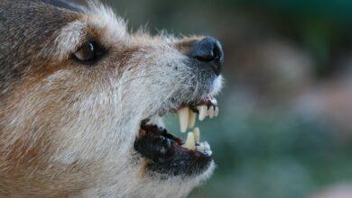 Raisons pour lesquelles les chiens deviennent agressifs et comment y mettre fin