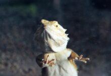 Raisons pour lesquelles les dragons barbus surfent sur le verre et comment les arrêter