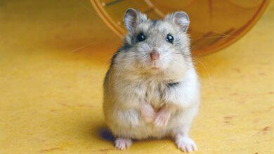 Raisons pour lesquelles les hamsters mordent et comment les arrêter