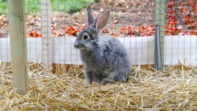 Raisons pour lesquelles les lapins mangent leurs propres crottes