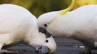 Raisons pour lesquelles les oiseaux de compagnie sont agressifs et comment y mettre fin