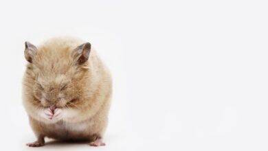 Santé et maladies des hamsters