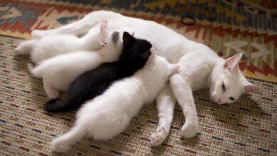 Soins post-natals d'une chatte et de ses chatons nouveau-nés