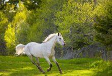 Sunborn et photosensibilité chez le cheval