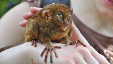 Tarsiers ! Faits intéressants sur ces primates merveilleusement bizarres