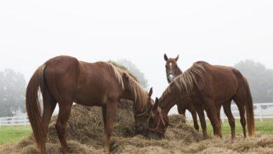 Tout sur l'alimentation des chevaux en foin