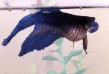 Traitement de la dropsyse chez les poissons d'aquarium