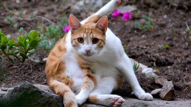 Trouble obsessionnel compulsif chez les chats