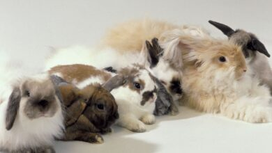 Un aperçu des couleurs et des motifs de la fourrure de lapin