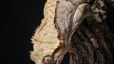 Photo de Un guide pour prendre soin des geckos à crête en tant qu'animaux de compagnie