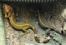 Un guide pour prendre soin des geckos à lignes blanches