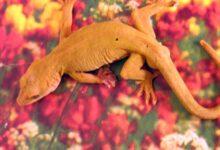Photo de Un guide pour prendre soin des geckos dorés de compagnie