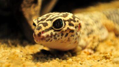Un guide pour prendre soin des geckos léopards comme animaux de compagnie