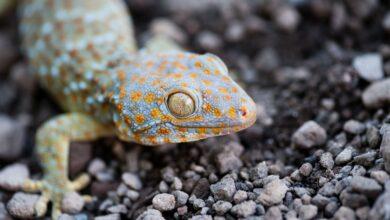 Un guide pour prendre soin des geckos tokay en tant qu'animaux de compagnie