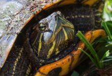 Un guide pour prendre soin des glisseurs à ventre jaune en tant qu'animaux de compagnie