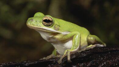 Un guide pour prendre soin des grenouilles arboricoles vertes américaines en tant qu'animaux de compagnie