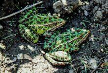 Photo de Un guide pour prendre soin des grenouilles léopards comme animaux de compagnie