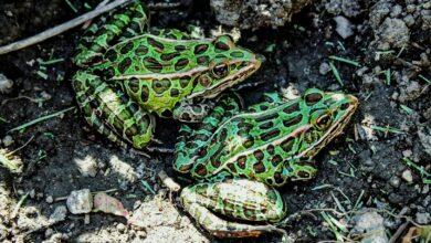 Un guide pour prendre soin des grenouilles léopards comme animaux de compagnie
