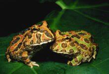 Un guide pour prendre soin des grenouilles pacman en tant qu'animaux de compagnie