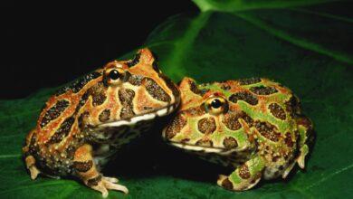 Photo de Un guide pour prendre soin des grenouilles pacman en tant qu'animaux de compagnie