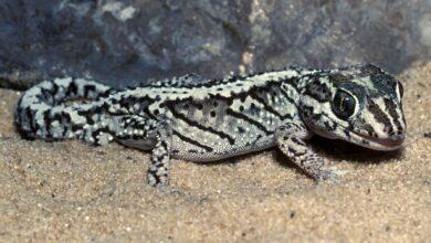Un guide pour prendre soin des panthères geckos en tant qu'animaux de compagnie