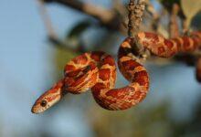Un guide pour prendre soin des serpents de maïs de compagnie