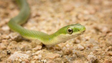 Un guide pour prendre soin des serpents verts de compagnie
