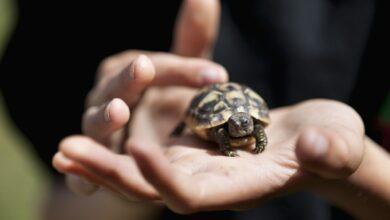 Un guide pour prendre soin des tortues d'Hermann en tant qu'animaux de compagnie