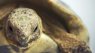 Un guide pour prendre soin des tortues grecques en tant qu'animaux de compagnie