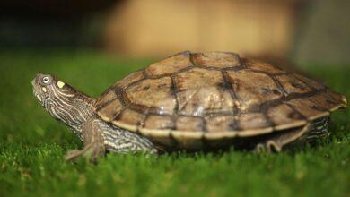 Un guide pour prendre soin des tortues marines du Mississippi en tant qu'animaux de compagnie