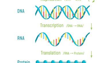 Une introduction à la transcription de l'ADN