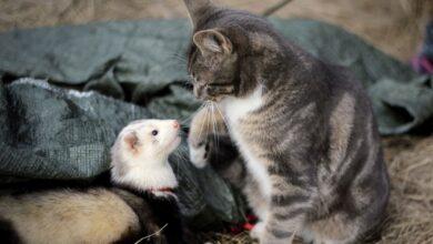 Vivre avec des furets et autres animaux de compagnie