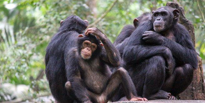 10 faits surprenants sur les chimpanzés