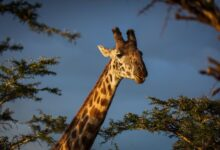 11 Faits intrigants sur les girafes