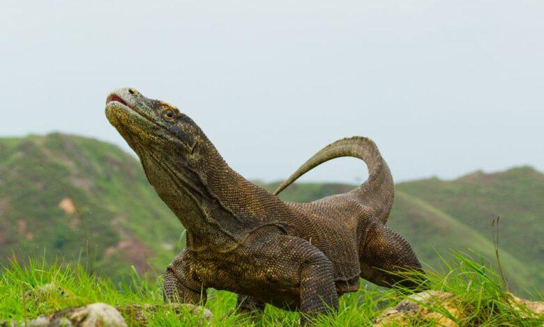 11 Faits surprenants sur les dragons de Komodo