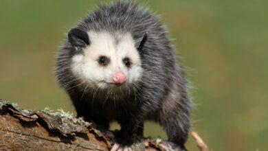 11 choses que vous ne saviez pas sur les opossums