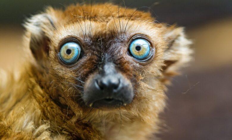 12 faits incroyables sur les lémuriens