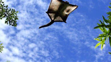 13 Faits intéressants sur les écureuils volants