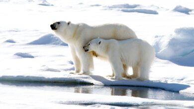 15 noms d'ours polaires du monde entier