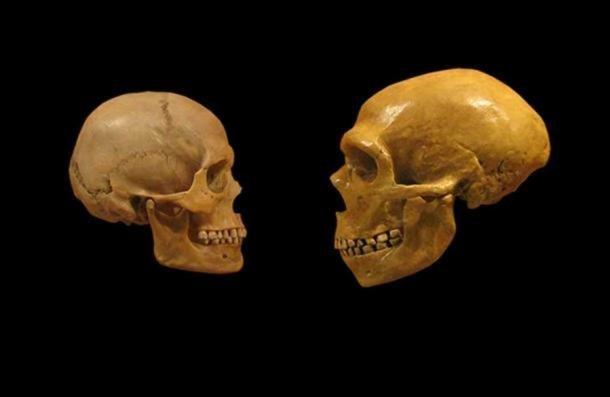 Comparaison de crânes humains modernes et de crânes de Néandertal du Musée d'histoire naturelle de Cleveland. (Dérivé) ( CC BY SA 2.0 )