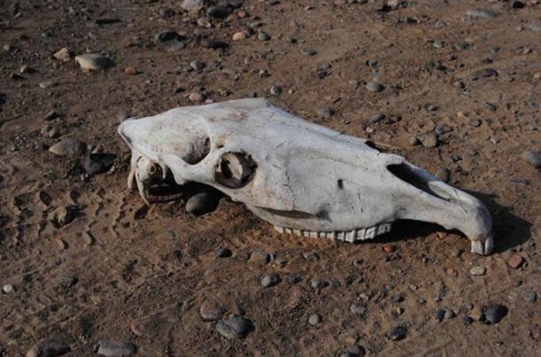 Le crâne d'un cheval.