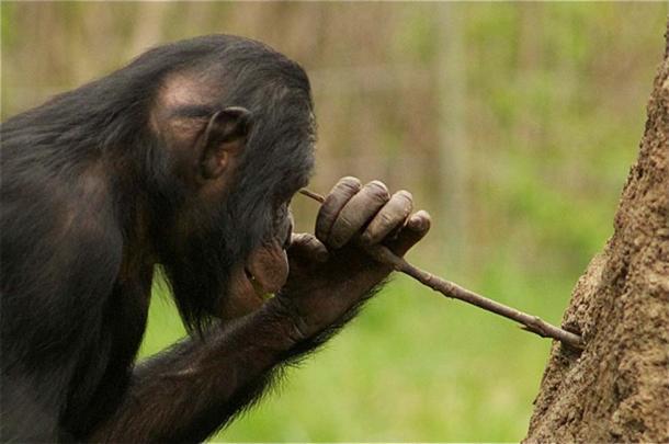 L'utilisation de bâtons et de pierres est le summum du progrès technologique des chimpanzés