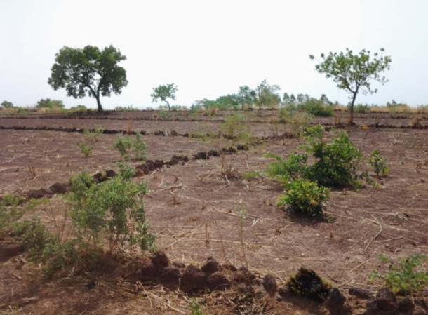 Exemple de la technique d'élevage des cordons pierreux.