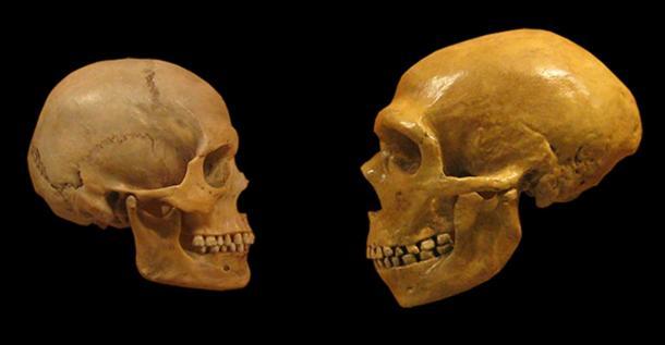 Comparaison de crânes humains modernes et de crânes de Néandertal du Musée d'histoire naturelle de Cleveland.