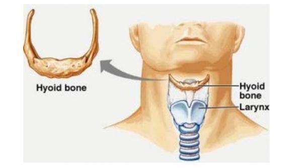 Image montrant l'emplacement de l'os hyoïde et du larynx dans un humus moderne