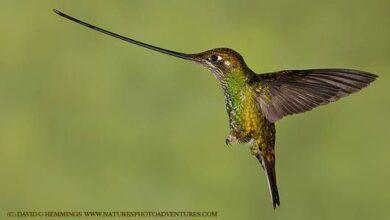 17 étranges et belles espèces de colibris