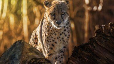 8 Faits rapides sur les guépards