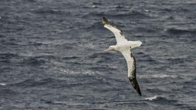 8 faits étonnants sur les albatros